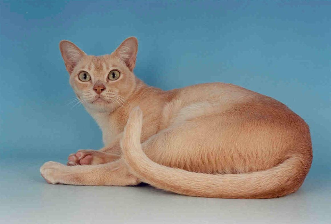 Cream burmese cat pictures