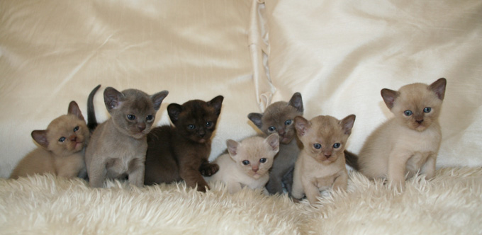 Welcome To The Burmese Cat Association