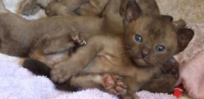 Blue Burmese Cat Breeders Victoria